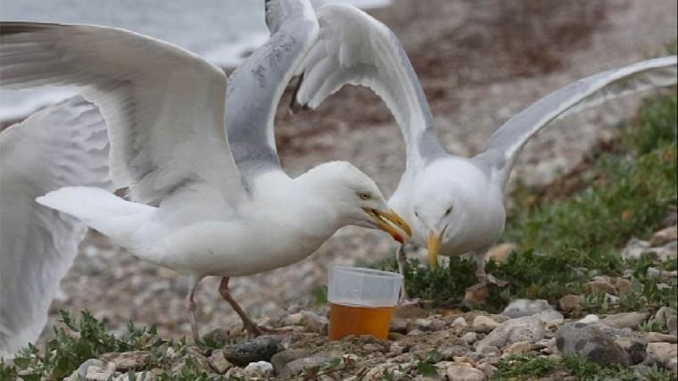 Буйные чайки-алкоголики атаковали пляжи Великобритании