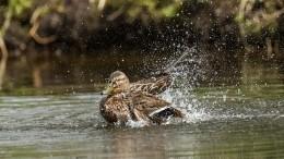 Видео: насевере Петербурга довольные утки обосновалисьвкипящем ручье