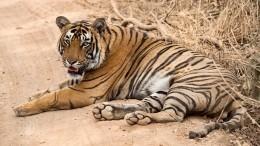 Автомобилисты засняли живого тигра надороге вМурманской области