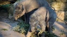 Власти Мьянмы подарили Москветрех азиатских слонят