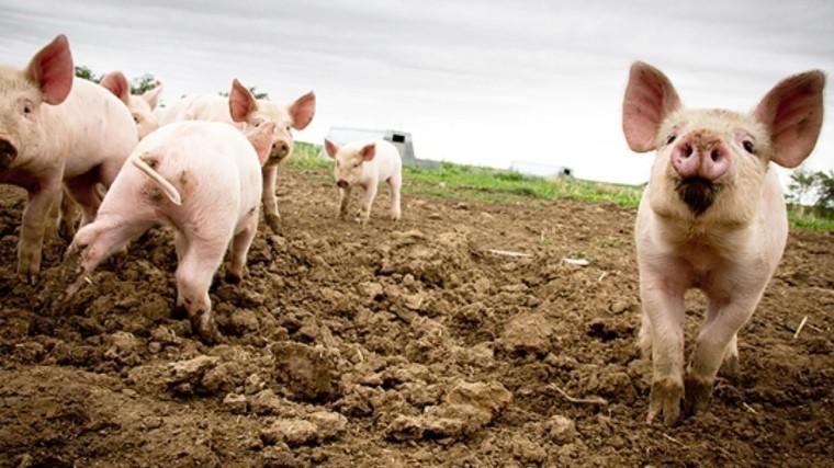 Прорыв втканевой инженерии! Свиньям успешно пересадили легкие «изпробирки»