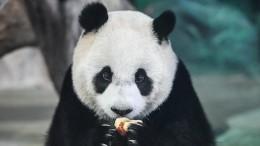 Китайские специалисты контролируют спасение панд взоопарке Берлина