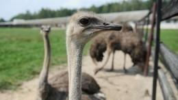 Женщина сняла, какразъяренный страус напал сотрудника зоопарка вПензе