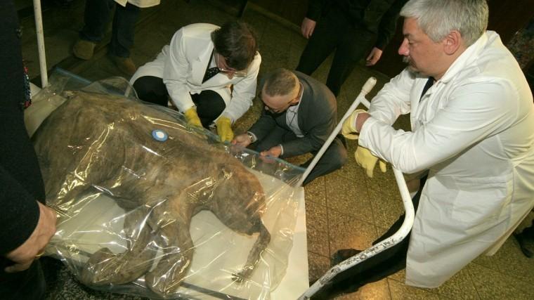 «Почти живой»: вЯкутии обнаружили останки мамонта вуникальной сохранности