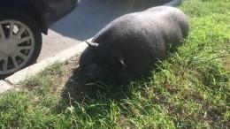 Петербуржцев шокировал огромный свин, дремлющий наулице