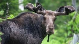 Губернатор Липецкой области призвал вступиться заспаривающихся лосей