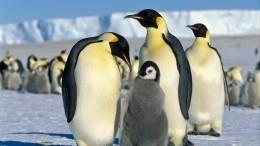 Коварные пингвины-геи похищали птенцов усвоих сородичей вдатском зоопарке