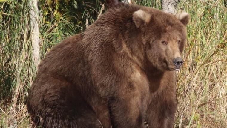 «Неделя жирных медведей»— американцы выбрали самое упитанное животное