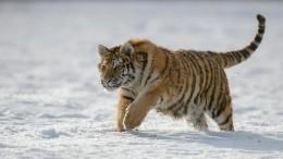 Молодая амурская тигрица поселилась взоосаде Деда Мороза вВеликом Устюге