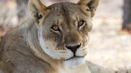 Репортаж: Кто ответит занападение львицы наребенка вцирке наКубани