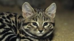 Хуже льва игепарда: названа порода самой смертносной кошки вмире