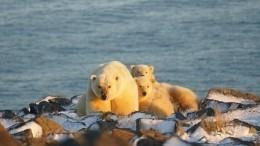 Фото: НаЧукотке 20 белых медведей окружили одно изсел