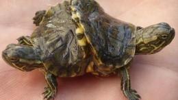 НаКубе нашли «неведому зверушку»— двухголовую шестилапую черепаху