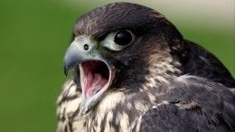 ВДагестане таможенники нашли трех редких птиц под капотом машины