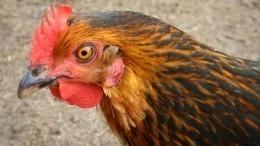 Видео: Нафабрике вПриморье вспышка птичьего гриппа