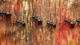 Лайфхак: Как при помощи кукурузы победить армию муравьев