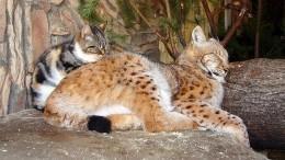 Дружба рыси идомашней кошки— серия милых фото изЛенинградского зоопарка