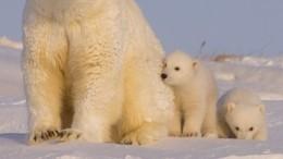 Видео: Белого медвежонка-сироту спасают отголодной смерти жители Чукотки
