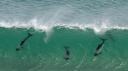 Лови волну! Всоцсетях набирает популярность видео сдельфинами-серфингистами