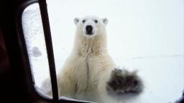 Медведи наступают! НаНовой Земле из-за обнаглевших хищников объявлен режим ЧС