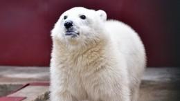 Доигрались! Обнаглевших белых медведей сНовой Земли решено депортировать