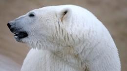 Специалисты WWF объяснили причины нашествия белых медведей нажилые поселки