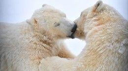 Видео: Белые медведи атакуют поселки Новой Земли впоисках пищи