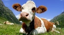 ВВеликобритании создали Tinder для коров