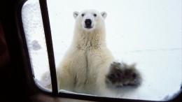 «Такого никогда небыло»: Жители Новой Земли вужасе отнашествия белых медведей
