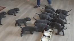 Самое милое видео: Как живут 18 одновременно рожденных щенков