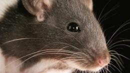 Видео: Крыса вИндии ограбила ювелирный магазин