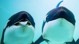 Ученые: Косатки ибелухи пробудут в«китовой тюрьме» еще несколько месяцев
