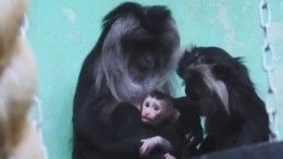ВМосковском зоопарке пополнение— родился детеныш редкой львинохвостой макаки