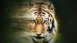Discovery Channel запускает масштабную кампанию взащиту тигров