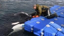 Владельцы «китовой тюрьмы» вПриморье назвали цену животных— видео