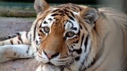 Судьба Тайги: Тигрица-путешественница никак неможет обрести дом— видео