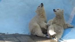 «Маленькая воображала»: Поцелуй белых медвежат позабавил пользователей сети