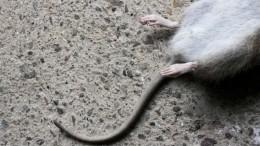 Журналисты попали вквартиру, где школьница жила среди крыс— шокирующие кадры