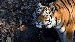 ВПриморье вХинганский заповедник вернули спасенных тигрят