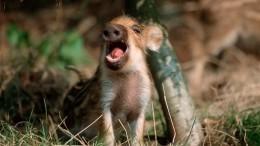 Подложили свинью? «Кабаний стриптиз» довел заведующую детским садом доувольнения
