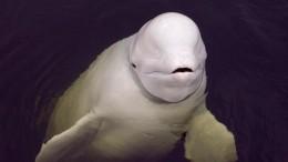 Суд отказался изымать косаток ибелух из«китовой тюрьмы» наСахалине