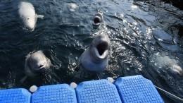 Видео: Отловщики косаток ибелух объяснили экскурсии в«китовую тюрьму»