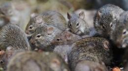 Геморрагическая лихорадка вСаратовской области— виноваты мыши