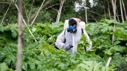 Видео: Борщевик против топинамбура— кто победит вбитве растений