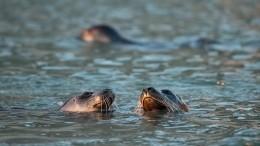 Наберегах Финского залива нашли уже 20 погибших тюленей