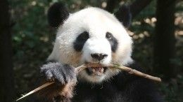 Панды как символ китайской дипломатии: СиЦзиньпин передал животных Московскому зоопарку