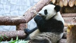 Видео: Очаровательные панды вМосковском зоопарке