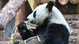 Жителям игостям Москвы нетерпится увидеть китайских панд