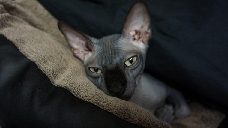 Фото: Пропал любимый кот Бари Алибасова— канадский сфинкс Чуча