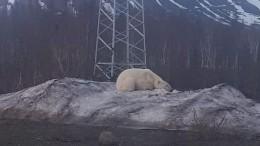 Белый медведь напугал подростков вНорильске